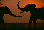 African Elephants, Kenya