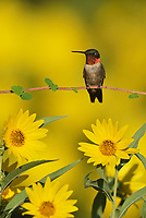 Ruby-throated Hummingbird (Archilochus colubris), male perched on Maximilians Sunflower (Helianthus maximilianii), Hill Country, Central Texas, USA