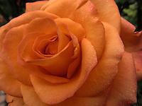 BOGOTÁ-COLOMBIA-15-01-2013. Rosa naranja, rosa Ury. Rose orange, Rose Ury.  (Photo:VizzorImage)