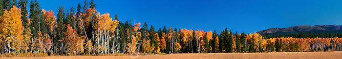 937000012 panoramic view of fall colored apsens along the road at the north entrance to grand tetons natiional park wyoming