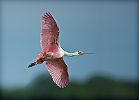 Bright pink Roseate Spoonbill in flight with wings spread, body and face visible