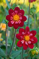 Red Dahlia Flowers