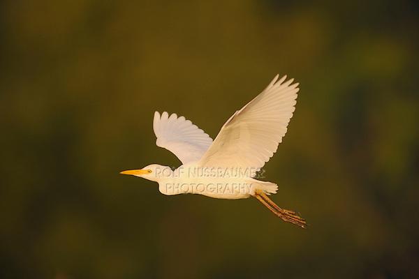 Cattle Egret (Bubulcus ibis), adult in flight, Fennessey Ranch, Refugio, Coastal Bend, Texas Coast, USA