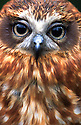 Southern Boobook owl (Ninox novaeseelandiae). Southeastern Australia.