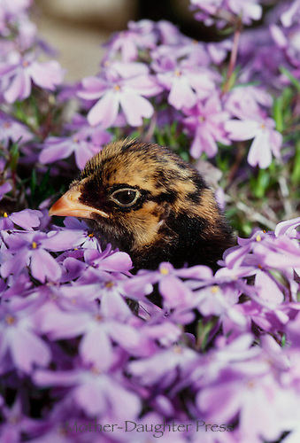 Golden laced Wyanadote chick in purple phlox, Maine, USA