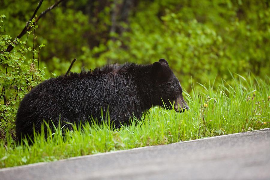 A single black bear feeds on grass along a roadside.