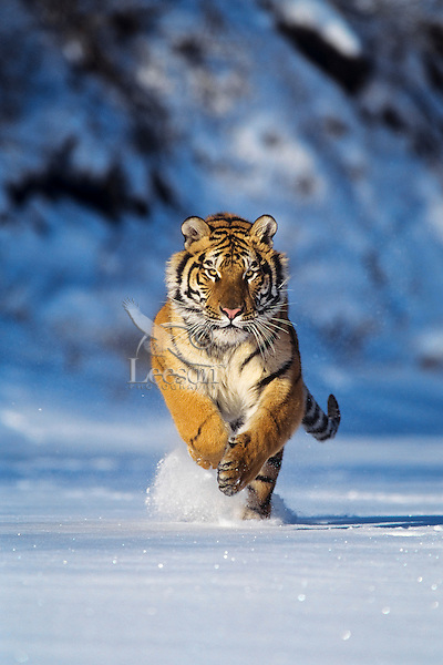 Siberian Tiger or Amur Tiger (Panthera tigris)