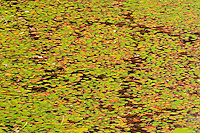 Pattern of water lilies in autumn <br /> Baysville<br /> Ontario<br /> Canada
