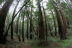 Coast redwood forest at Butano State Park, 8mm lens