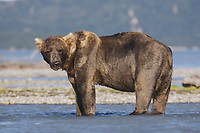 A large male kodiak grizzly bear (Ursus arctos middendorffi) named Pythagoreas