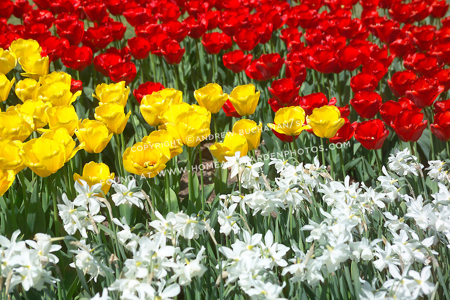 a closeup springtime image filling the frame with red tulips and yellow tulips and white daffodils in a commercial field display garden in Mt. Vernon, WA in the Skagit Valley of Washington state