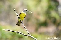 0701-1101  Social Flycatcher Collecting Twigs for Building Nest (Vermilion-crowned Flycatcher), Belize River in Belize, Myiozetetes similis  © David Kuhn/Dwight Kuhn Photography