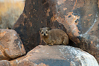 The rock hyrax (Procavia capensis) or Cape hyrax is one of the four living species of the order Hyracoidea, and the only living species in the genus Procavia. Like all hyraxes, it is a medium-sized (~4 kg) terrestrial mammal, superficially resembling a guinea pig with short ears and tail. The closest living relatives to hyraxes are the modern day elephants and sirenians.