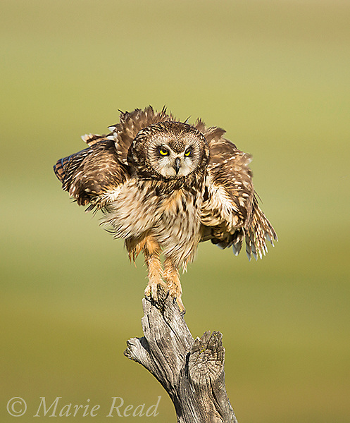 Short-eared Owl (Asio flammeus), adult female shaking after a bout of preening, perched on fencepost, northern Utah, USA