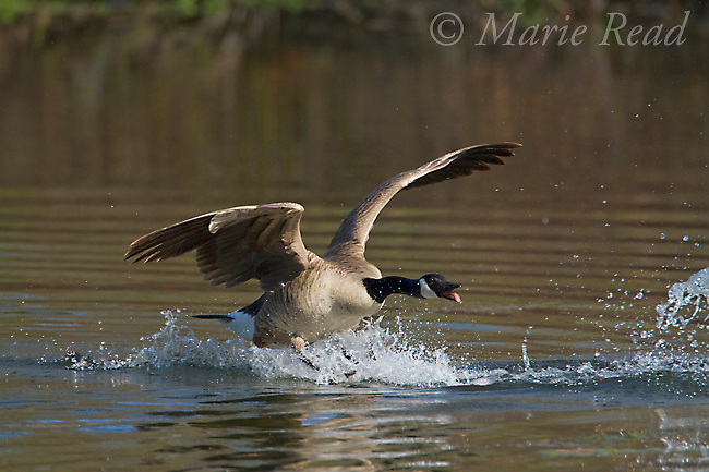 Canada Goose (Branta canadensis), aggression toward intruding goose (not visible), Ithaca, New York, USA