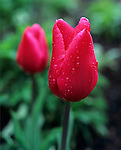 Vashon Island , WA<br /> Two red tulips