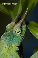 CH35-529z  Male Jackson's Chameleon or Three-horned Chameleon, close-up of face, eyes and three horns, Chamaeleo jacksonii