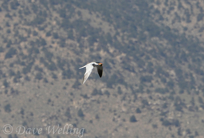 581630005 a wild caspian tern hydroprogne caspia flies over a small pond after catching a fish in inyo county near bishop california