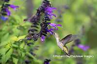 01162-15108 Ruby-throated Hummingbird (Archilochus colubris) at Amistad Salvia (Salvia amistad) in Marion County, IL