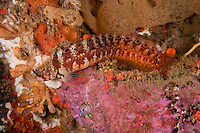 QX71998-D. Mosshead Warbonnet (Chirolophis nugator). Washington, USA, Pacific Ocean.<br /> Photo Copyright &copy; Brandon Cole. All rights reserved worldwide.  www.brandoncole.com