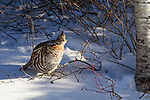 Ruffed Grouse (Bonasa umbellus) in winter, Riding Mountain National Park, Manitoba, Canada