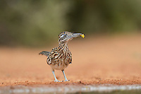 Greater Roadrunner (Geococcyx californianus), adult with flower in beak, Rio Grande Valley, South Texas, Texas, USA