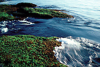Irish moss color the intertidal zone on Appleore Island, Isles of Shoals, Maine. Photograph by Peter E. Randall.