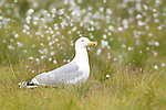 European Herring Gull, Larus argentatus, Kuhmo, Finland, Lentiira, Vartius near Russian Border, on marshland near lake, cotton grass in background