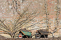 Two wheelbarrows full of farmyard manure in front of wall-trained plum fan and pear cordon, West Dean Gardens, Sussex, early March.