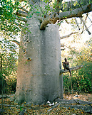 MADAGASCAR, shirtless man sitting In 1900 year old baobab tree, Marombo Bay