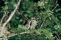 Yellow-billed Cuckoo, Coccyzus americanus,adult feeding young, Welder Wildlife Refuge, Sinton, Texas, USA