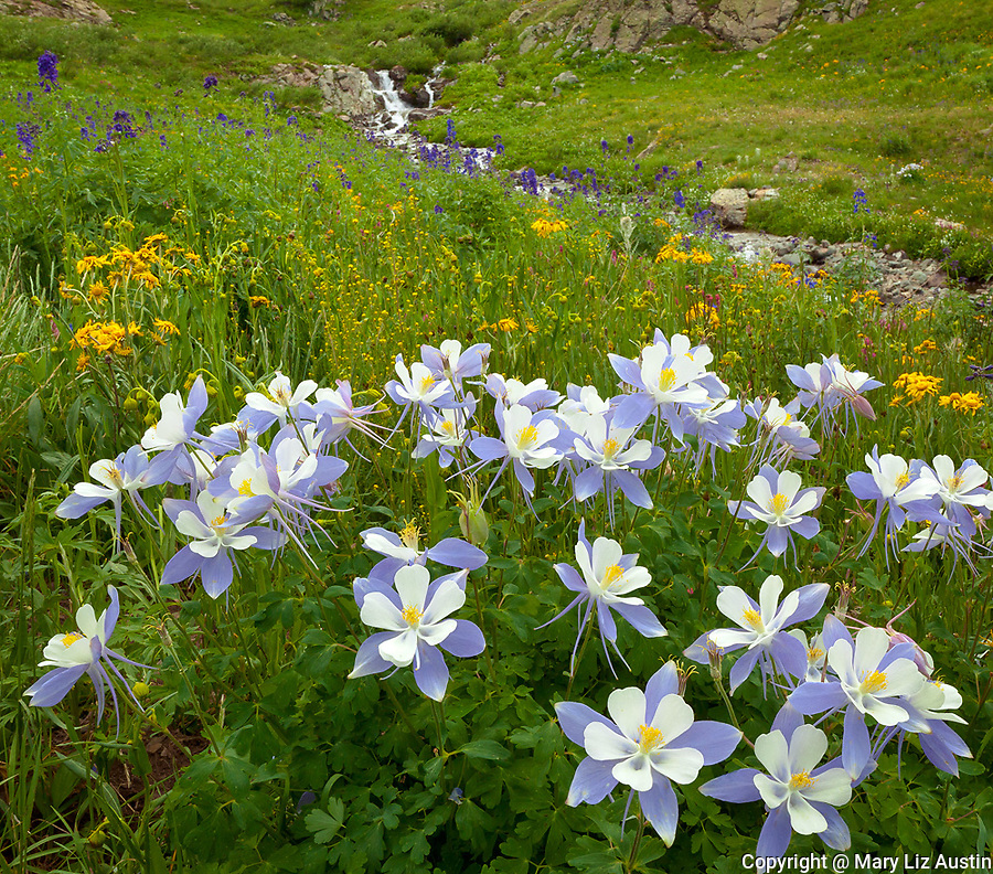 San Juan Mountains, CO<br /> Colorado columbine (Aguilegia coerulia) and wildflower meadows with a creek flowing in American Basin