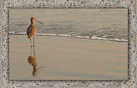 Marbled Godwit, Coronado California.