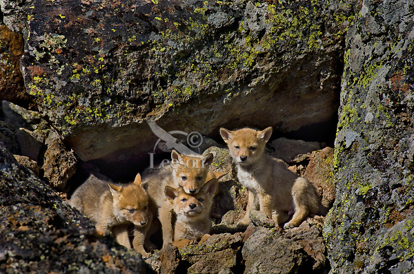 Wild Coyotes (Canis latrans) pups sit in front of entrance to their den--entrance is dark hole (center right).  Western U.S., June.