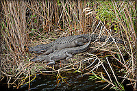 American Alligator, Mom and baby in reeds near the water in Wakodahatchee wetlands