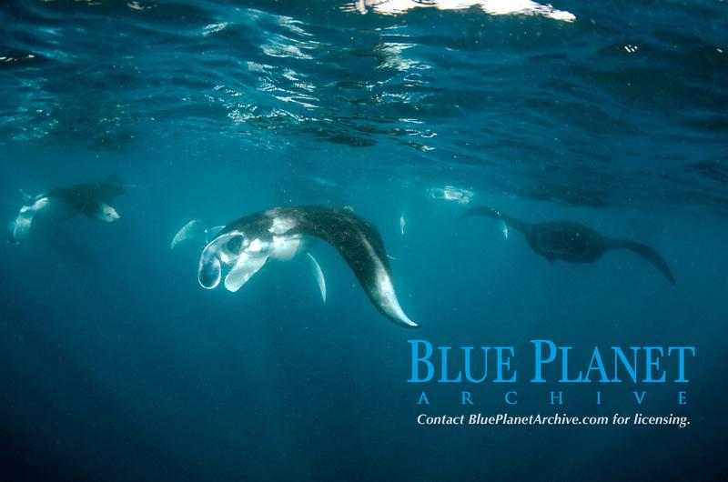 School of Manta Rays, Manta birostris, feeding on surface, Manta Alley dive site, Padar Island, Komodo National Park, Indonesia, Indian Ocean