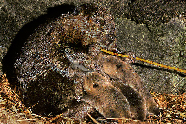 MT238  Beaver family--mom's feeding on the bark of a branch while the kits nurse--inside den.