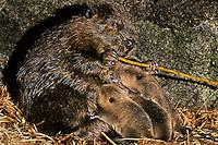 MT238  Beaver family--mom's feeding on the bark of a branch while the kits nurse--inside den.