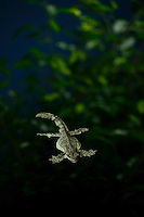 A flying gecko gliding through a forest at night