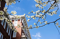 Pear blossoms at Swalm School of Chemical Engineering<br />  (photo by Beth Wynn / &copy; Mississippi State University)