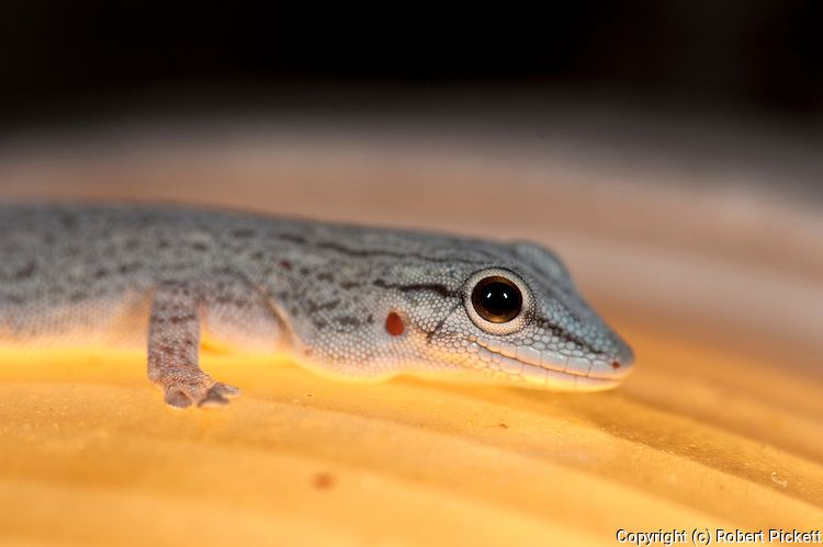 Gecko, Species unknown, Ifaty, Madagascar, close up of face, on light,