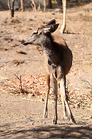 Stock image - Portrait of a beautiful small deer standing in Pradyuman park, Gujarat.