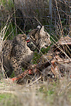 Wild Iberian Lynx fitted with radio collar feeding on carcass of Red Deer that broke it's neck trying to get through  wire fence.