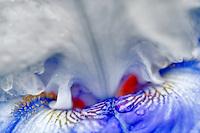 Whispering Falls Iris. Schreiner's Iris Gardens. Oregon