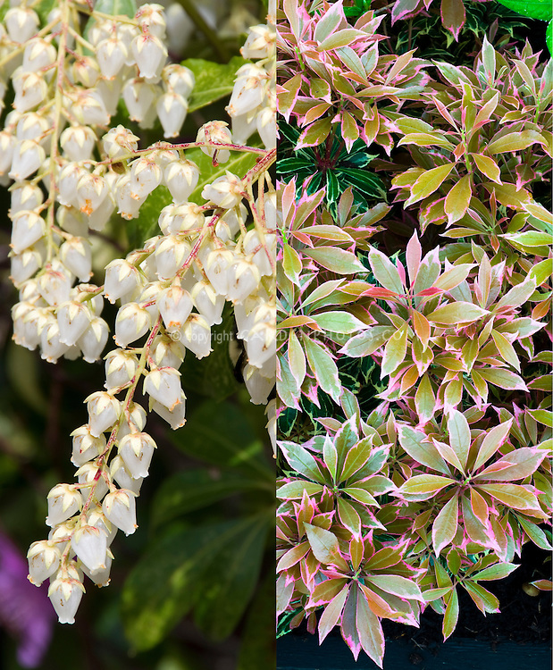 Pieris japonica Carnaval in flower and new foliage, composite picture