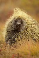 Porcupine (Erethizon dorsatum) on tundra. This individual was atleast 50 miles north of treeline roaming the open tundra. Most liekly it worked its way down a river feeing on young willows and alders in late summer. North Slope, Alaska. September.
