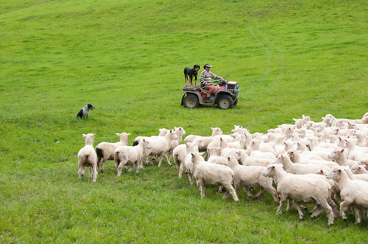 New Zealand, North Island, near Wellington, sheep dogs herd sheep near The Wool Shed in Wairarapa. Photo copyright Lee Foster. Photo # newzealand125828