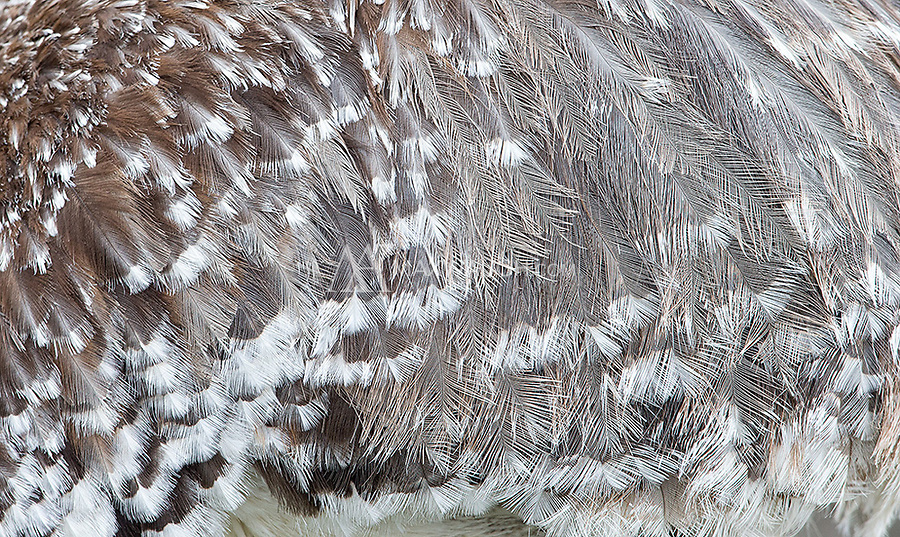Detail of the plumage belonging to the Darwin's rhea.