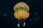 Mastigias papua – Spotted Jelly, Visayas, Philippines 2017, ID Alejandro Damiian Serrano, Mastigias papua – Phyllorhiza punctata, Spotted Jellyfish, San Miguel, Dauin, Visayas, Philippines 2017, ID by André C. Morandini ,Beautiful, Mastigiidae is a family of true jellyfish. The family is native to the Indo-Pacific, but a species of Mastigias has been introductions to the West Atlantic, and Phyllorhiza punctata has been introduced to the West Atlantic and Mediterranean Sea, Class: Scyphozoa, Common Name: Australian Spotted Jellyfish