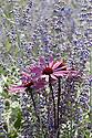 Echinacea purpurea 'Rubinglow' against a background of Perovskia atriplicifolia 'Little Spire', mid August.